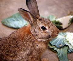 Dutch Oven Rabbit N' Gravy – 1/30/12